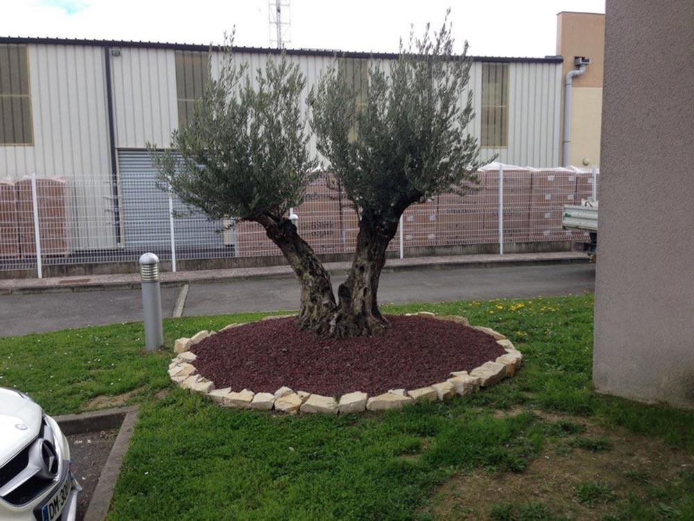 Plantation d'un olivier centenaire à Plaisance du Touch